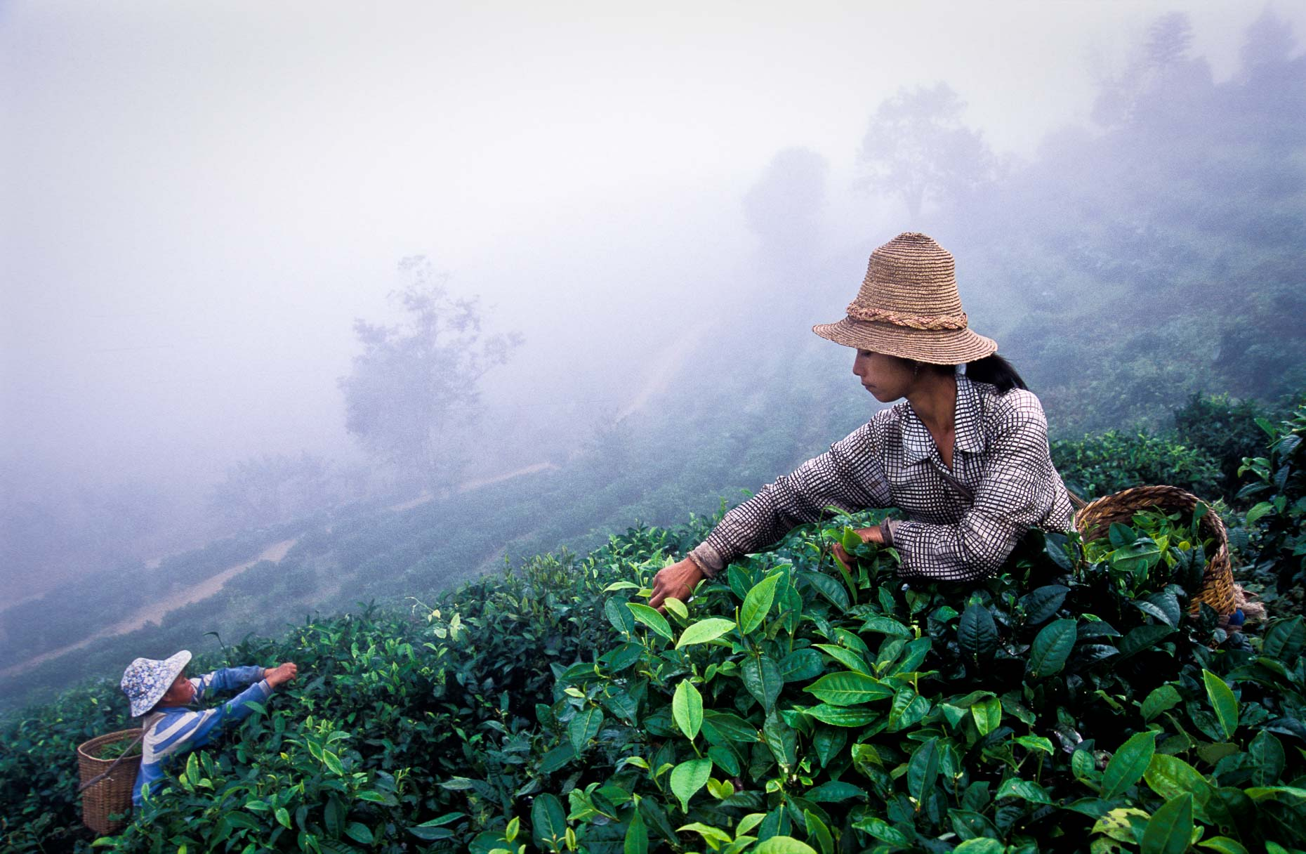 Tea picking in morning mist